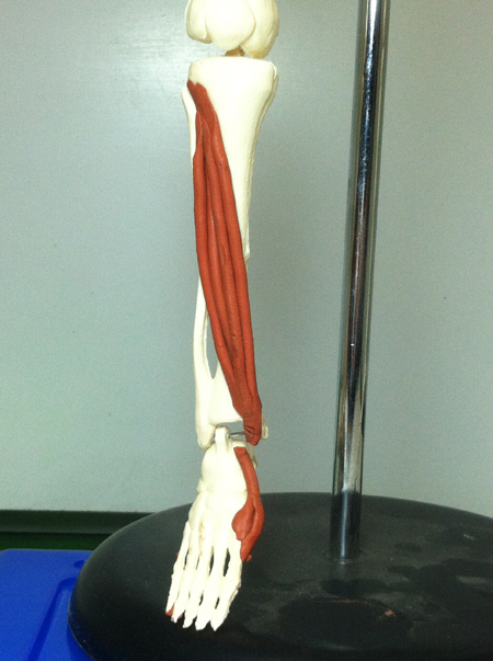 Tibialis Anterior | Feets of Clay