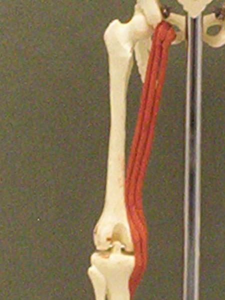Semitendinosus | Feets of Clay