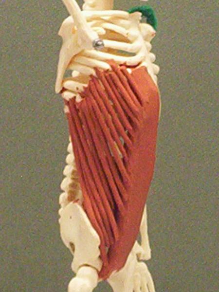 Serratus Anterior Origin And Insertion