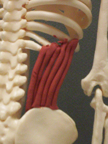 How To Clay Bar >> Internal Abdominal Obliques   Feets of Clay
