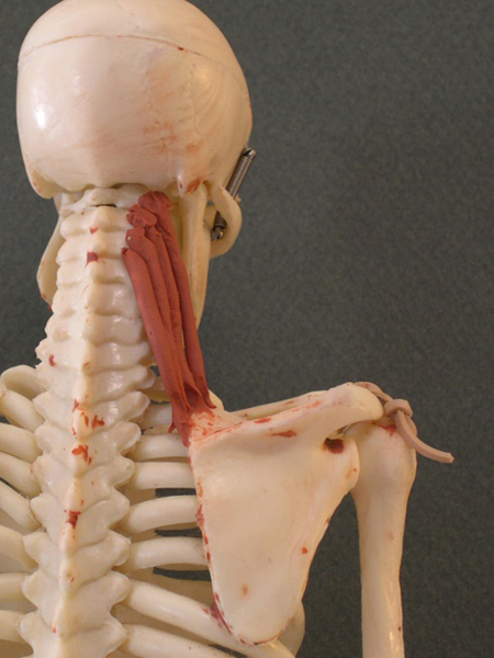 Levator Scapula... Frontalis Muscle Origin Insertion Action