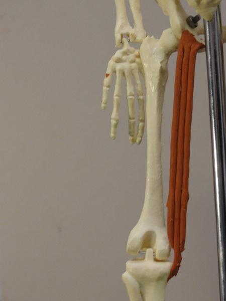Zygomaticus Major Muscle Function Origin amp Anatomy  Body